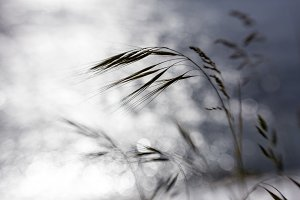 Grass Heads in the Wind