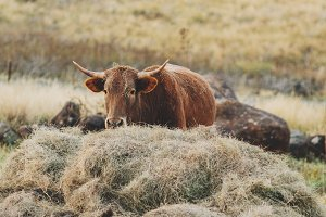 Cow eating her hay