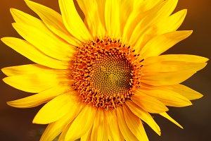 Bright sunflower in sunset light