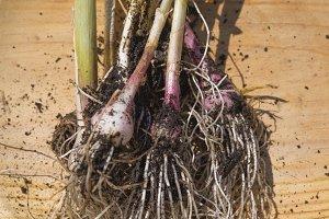 onion in the field