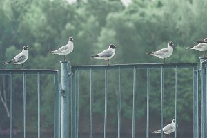 Seagulls sitting on the metallic fence at the moscow river