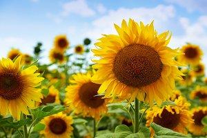 Field of flowering sunflowers