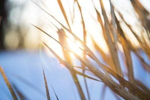 Sunrise Through Grasses in Winter 2