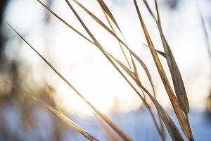 Sunrise Through Grasses in Winter 4