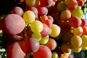Clusters of grapes ripening