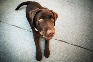 Chocolate young labrador