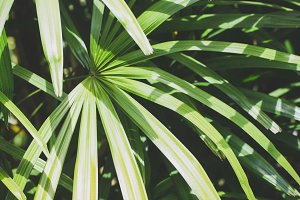 Tropical Palm Leaves - The Lady Palm