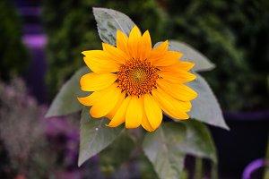 Sunflowers in a garden