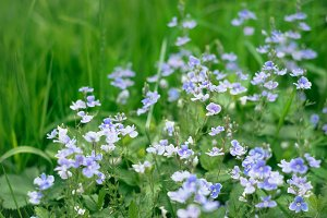 Fresh blue flowers forget-me-not in the summer field, beautiful natural floral background. Green lush grass meadow with soft blooming flowers in outdoor rural landscape. Nature and ecology concept
