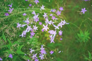 Fresh purple bellflowers growing in morning summer field, beautiful natural floral background. Green lush grass meadow with soft blooming flowers in outdoor rural landscape. Nature and ecology concept