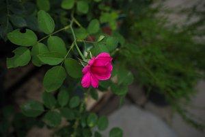 Rose bud in a garden
