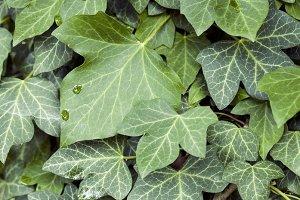 Nature textures - ivy