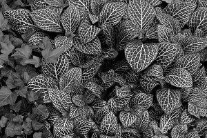 Nerve Plant Leaf