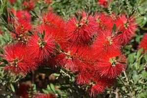 Bottlebrush Plant