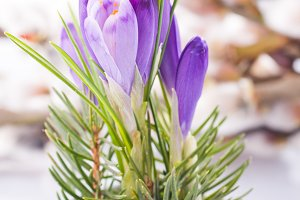 Crocus closeup on pussy willow background. Spring concept