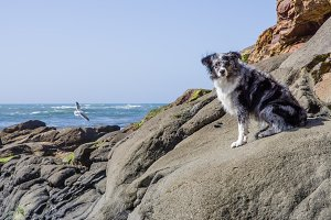 Australian Shepherd watches the tide