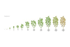 Soybean Glycine max. Growth stages vector illustration