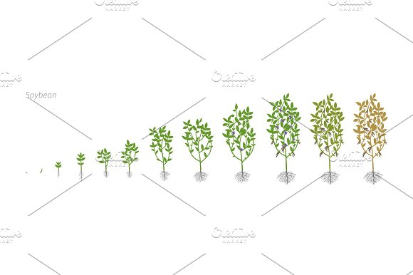 Soybean Glycine Max Growth Stages Vector Illustration