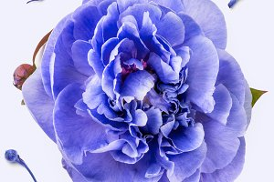 Violet peony on white background