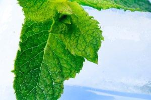 Freshness mint