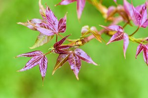 Red young leaves Maple