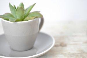 Succulent in Cup