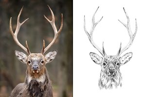 Deer portrait drawn pencil