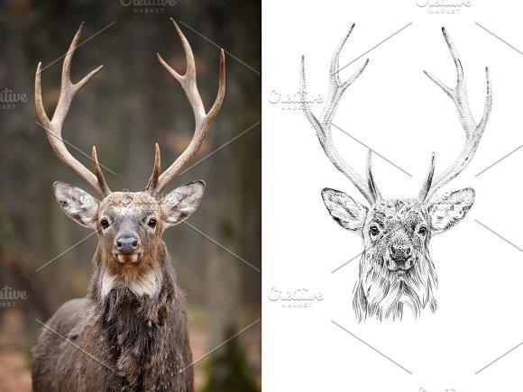 Deer portrait drawn pencil