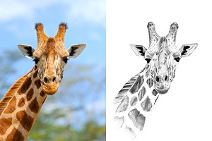 Giraffe portrait drawn pencil