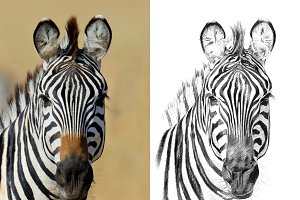 Zebra portrait drawn pencil