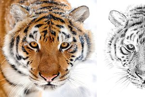 Tiger portrait drawn pencil