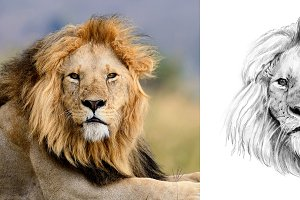Lion portrait drawn pencil