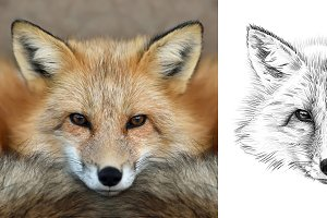 Fox portrait drawn pencil