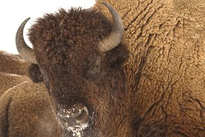 Bison Three