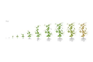 Pea Pisum sativum cultivation agriculture Growth stages vector illustration