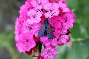 Pink carnation and six-spot burnet.