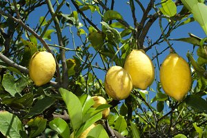 Lemon fruits on branch