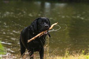 big black dog labrador