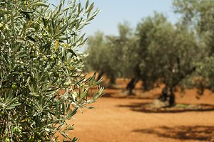 Olive plantation and olives on branc