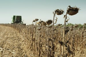 Harvester reaps sunflowers