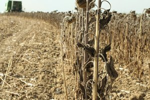 Harvester reaps sunflowers