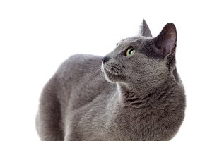 Elegant grey cat
