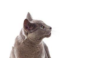 Elegant grey cat