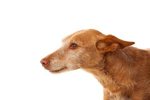 Brown small hound dog