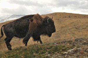 Bison Five