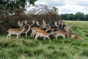 Fallow Deers in the Park