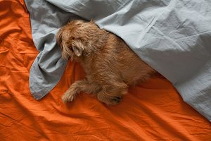 Red dog sleeping on the orange sheet, covered with a grey blanket