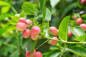 Karonda fruit on tree organic
