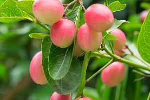 Karonda fruit on tree organic