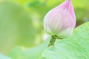 Lotus flower on holy day